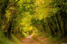 The Tree Tunnel at Halnaker, West Sussex