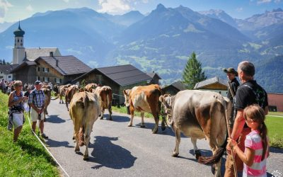 The return of the Tirolean cattle.